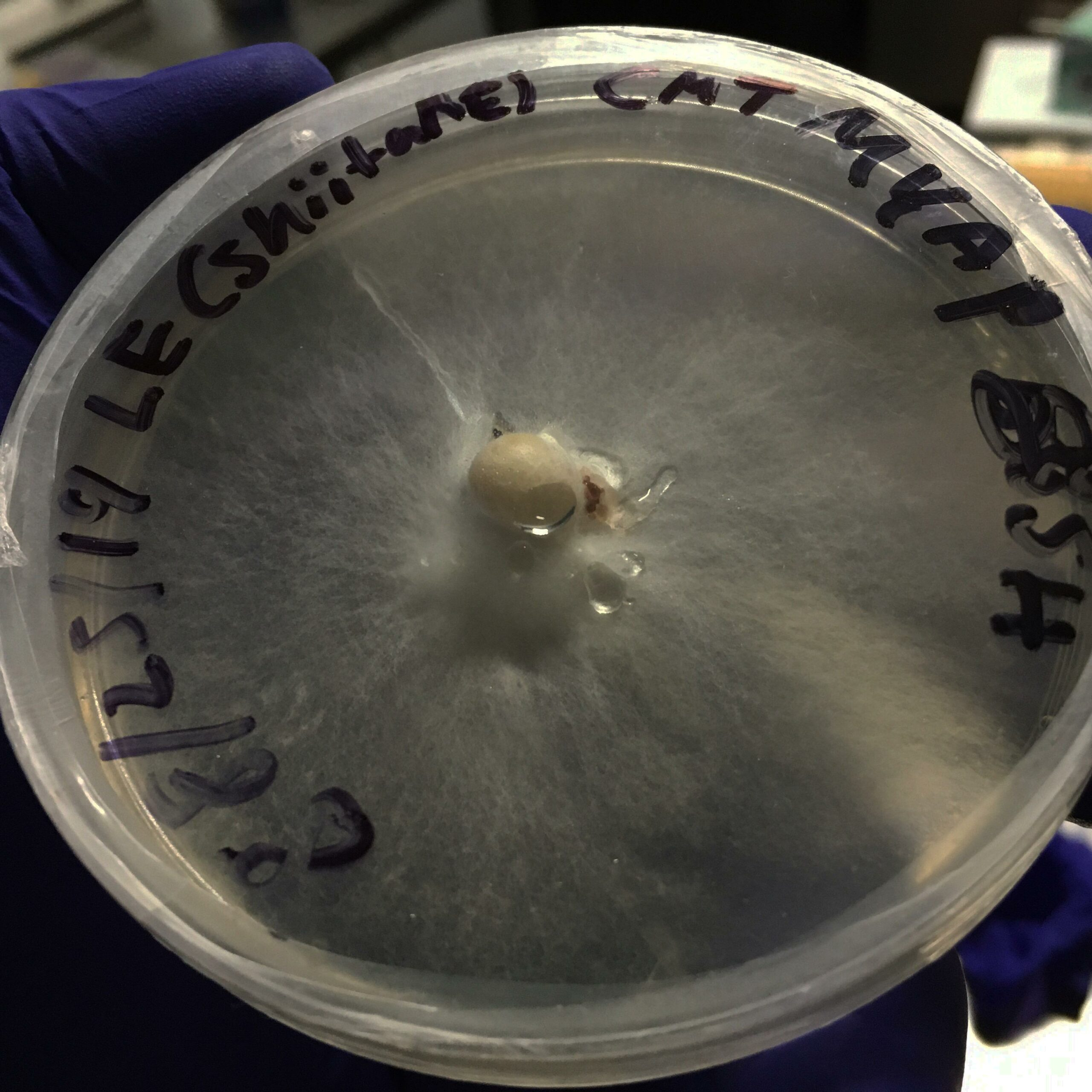 How To Run Mycelium: A Fungal Tissue Culture Workshop