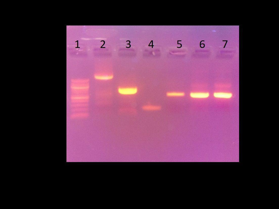 Lab Skills: Gel Electrophoresis